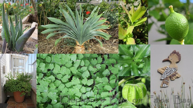 Lachenalia, Boophone, Dais, lime Veltheimia Searsia, maidenhair fern, Cape gooseberry, hoopoe