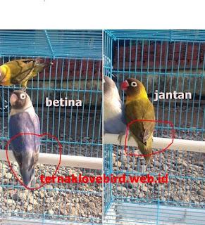 Cara membedakan lovebird jantan dan betina dewasa secara akurat