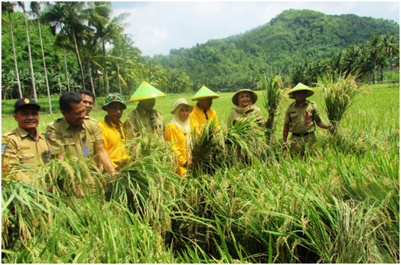 Bupati Bima Hj.Indah Dhamayanti Putri saat melakukan panen perdana padi Organik