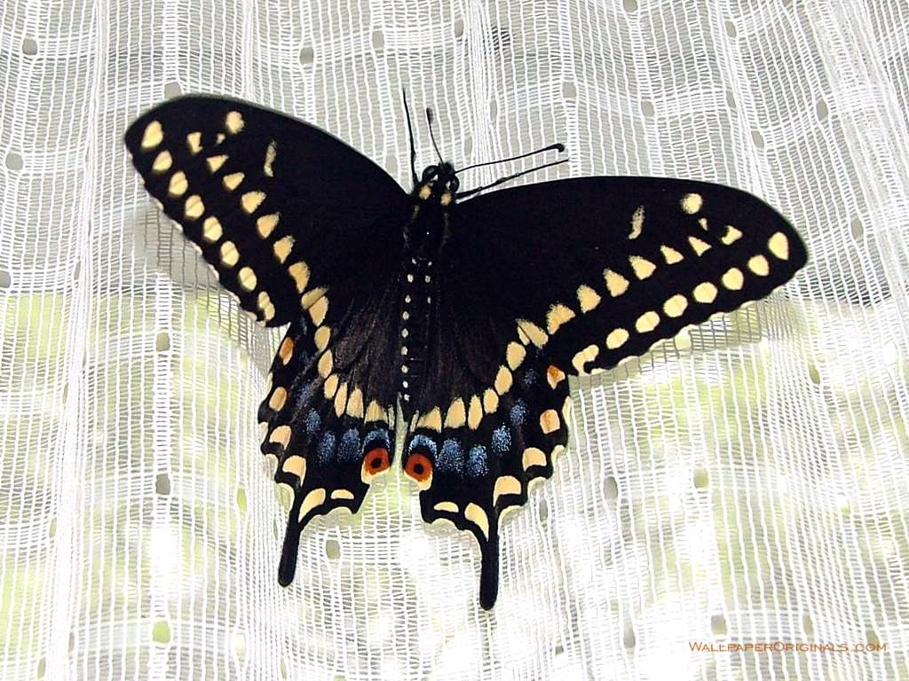 Funny Image Collection Pink Butterfly Black Glitter Image