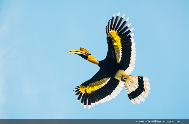 The Great Pied Hornbill, Great Hornbill, Pied Hornbill, Great Indian Pied Hornbill
