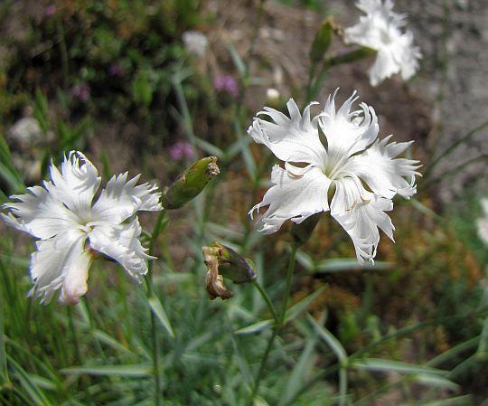 Goździk wczesny (Dianthus praecox).