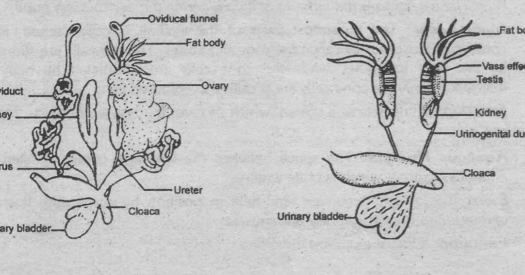 Notes Guide Book: Explain the reproductive system of frog.