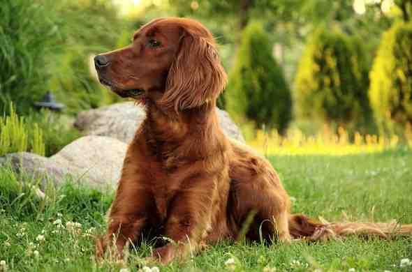 irish-setter-dog-كلب-السيتر-الايرلندي