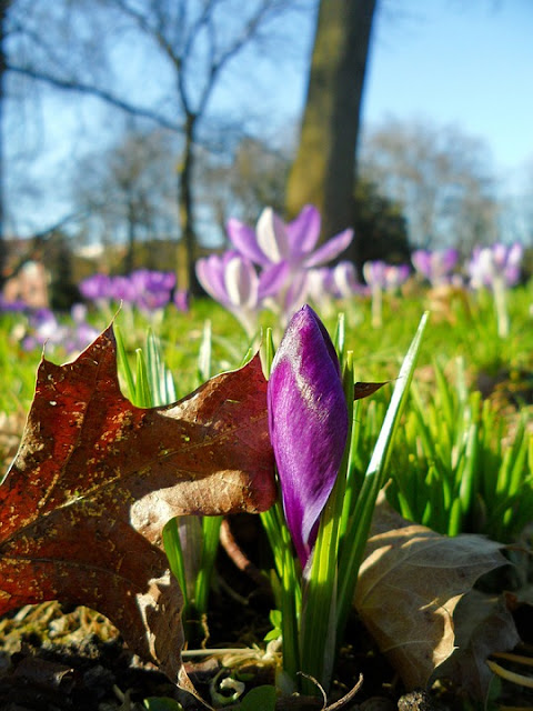 Tips on growing crocus
