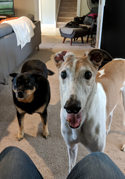 image of Zelda the Black and Tan Mutt and Dudley the Greyhound standing and staring at me as I sit at my desk