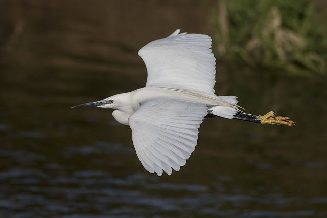 Little Egret in Flight Along the River Ouse.