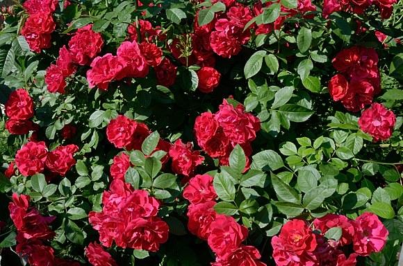Flammentanz сорт розы фото