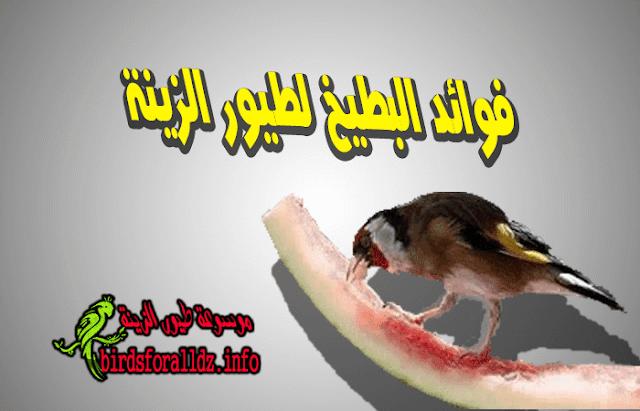 فوائد البطيخ  لطائر الحسون والكناري وكيف تقدمه
