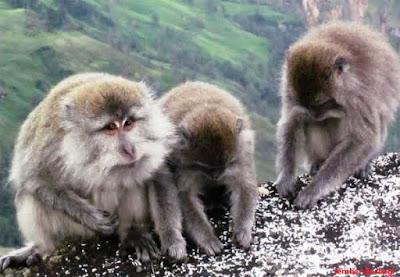 Spesies simpanse di Gunung Rinjani