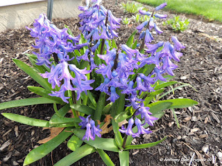 pic of purple flowers during April in Ohio
