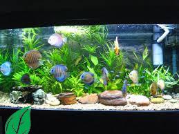 Cara Menghias Aquarium Dengan Tanaman Plastik dan Hidup 2021