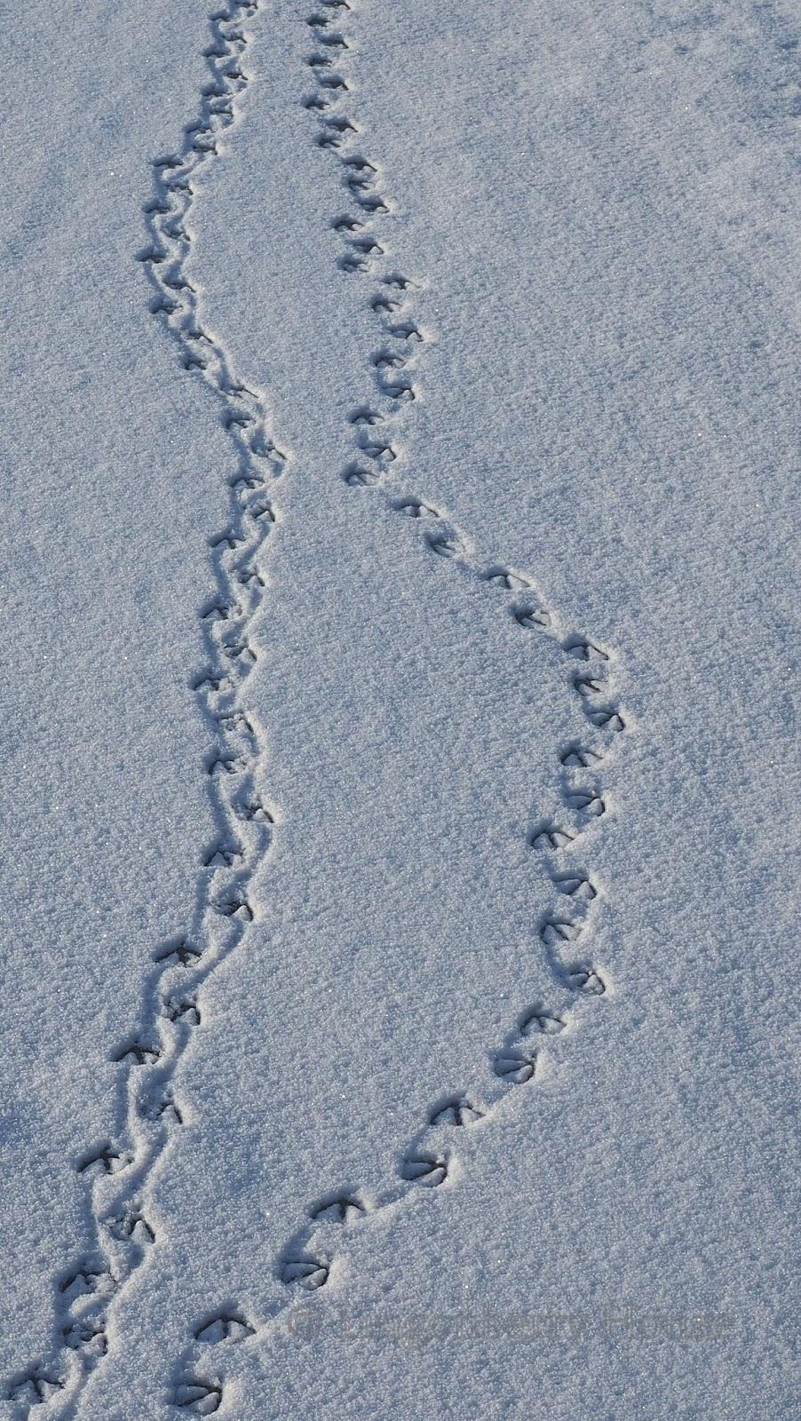 Eläinten Jäljet Lumessa
