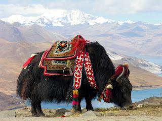 yak du Tibet habillé pour la caravane. Libre de droit