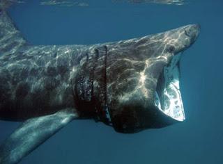 gambar ikan hiu terbesar ke 2 di dunia