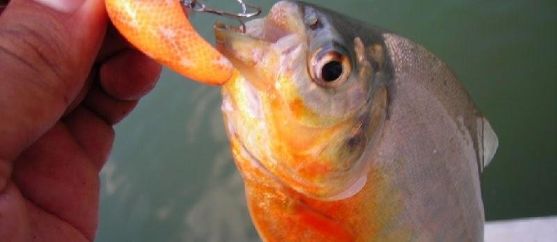 Umpan Ikan Bawal Galatama Ampuh untuk Pemancing Pemula