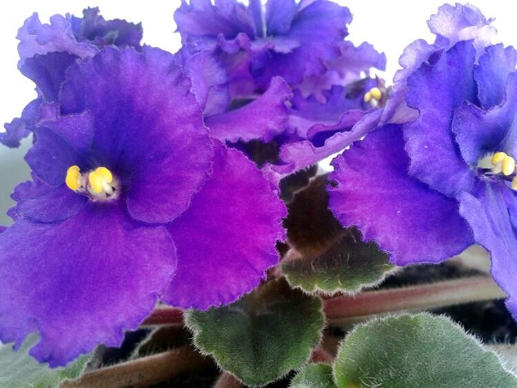 violeta planta