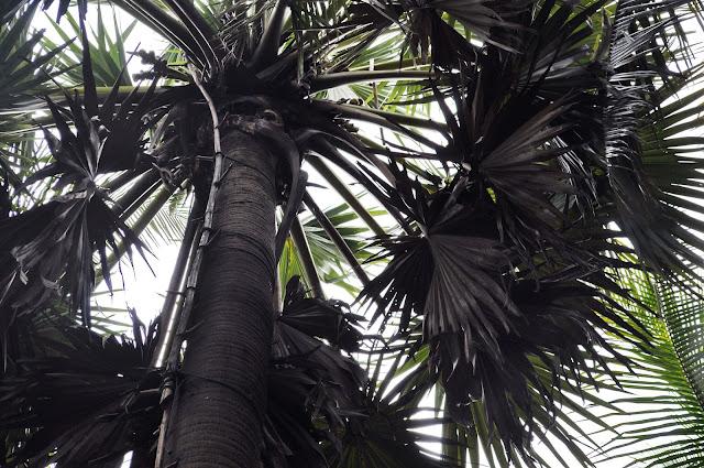 Palmier à sucre. Photographie par Claudia Schillinger (CC)