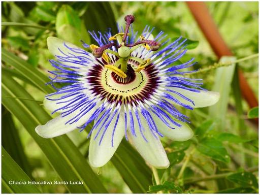 Flor del mburucuyá también conocida como pasionaria - Chacra Educativa Santa Lucía