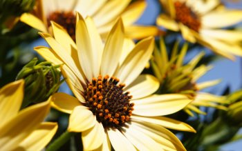 Wallpaper: Yellow Flowers