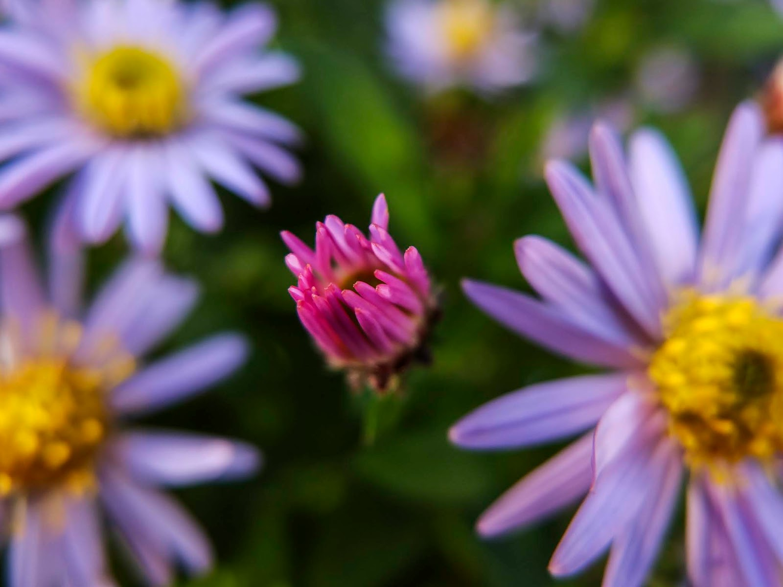 A close up of purple Aster blooms at sunset.