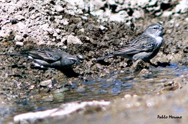 "alt=""yal chico,Phrygilus plebejus,aves de Mendoza,yal"""