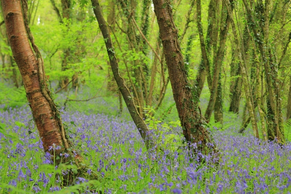 A Devon woodland with bluebells.- Photo Kevin New
