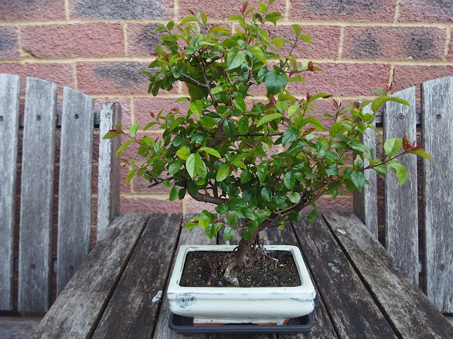My bonsai tree