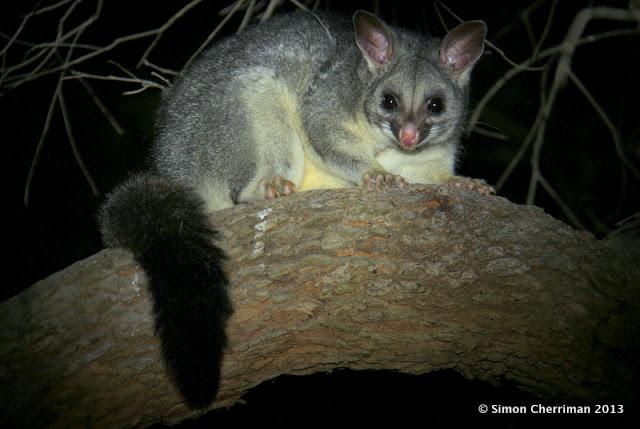 Insight News Blossum For The Possum