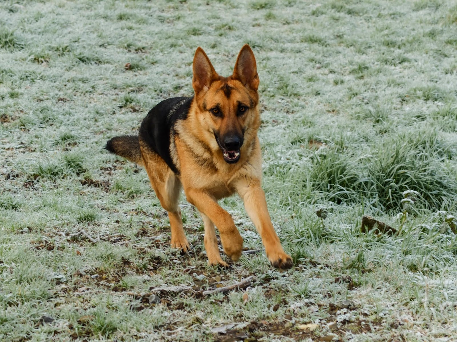 A year old German Shepherd Nala running up a frosty and grassy hill.