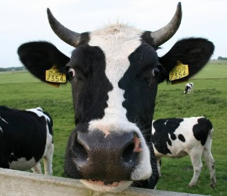 Funny Face Cow Illusion