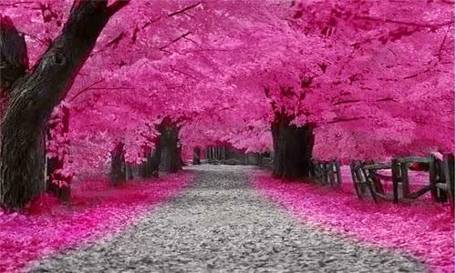 foto pemandangan bunga sakura terindah di jepang