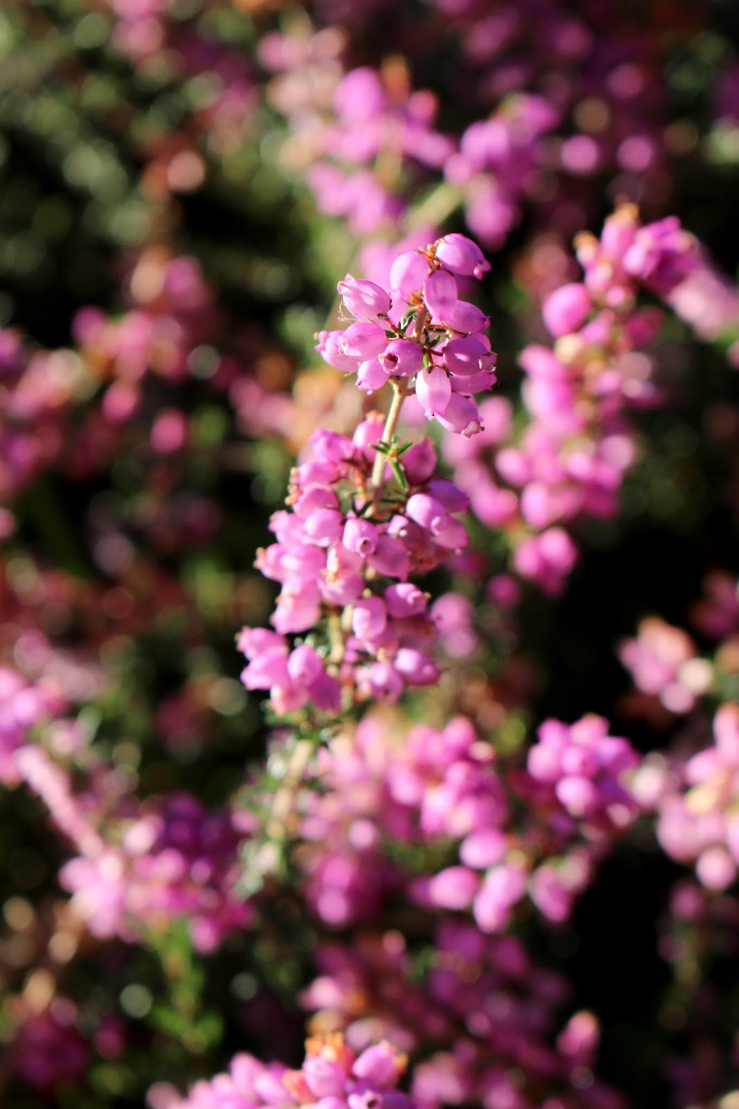 Close up photography of British Heather