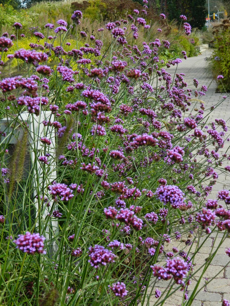 Verbena bonariensis tall verbena Toronto Botanical Garden Entry Walk by garden muses-not another Toronto gardening blog