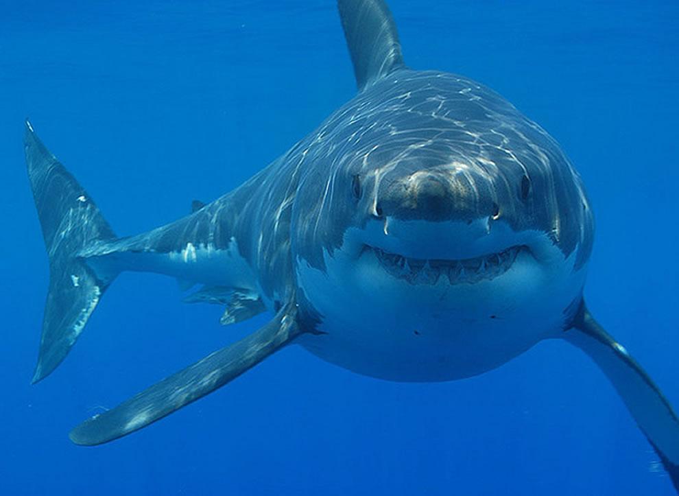 اسماك القرش تحت الماء Smiling-Great-White.