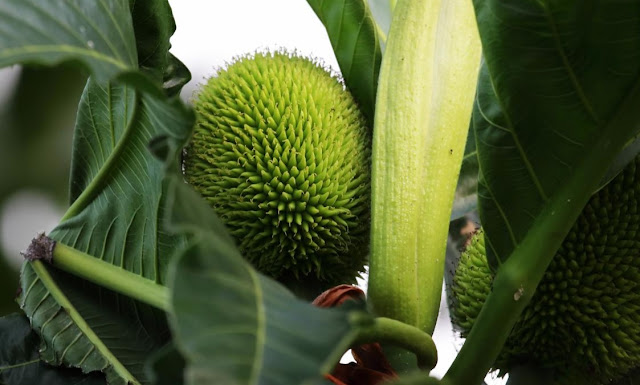 African Breadfruit