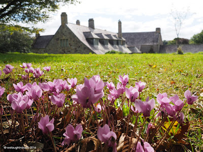 Beautiful Cyclamen at Trerice National Trust
