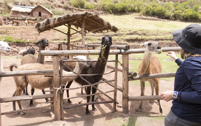 What to do in Cusco in 3 days: Feeding llamas at Awana Kancha on a day trip from Cusco