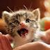 Ποιες γάτες νιαουρίζουν πολύ;
