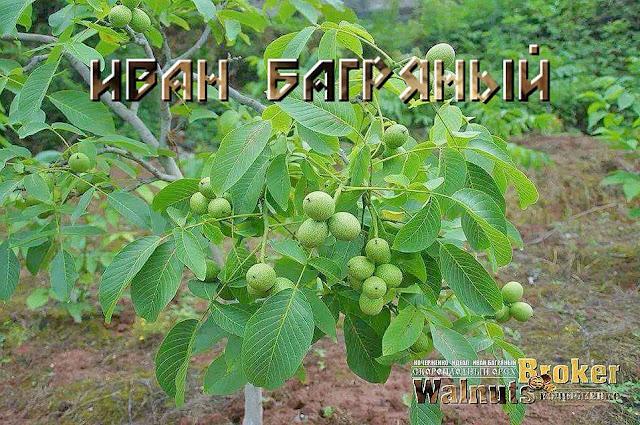 Скороплодный грецкий орех Иван Багряный