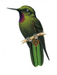 Violet throated Metaltail