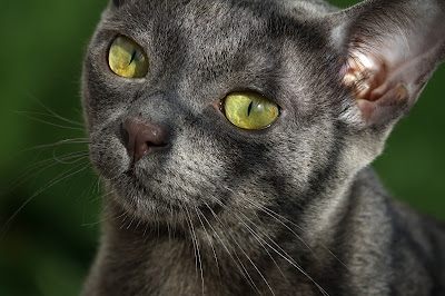 Korat cat face, by Mpc92, via Adobe Stock