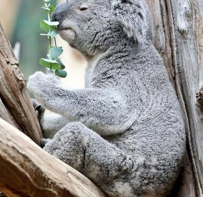 koala-oobi-ooobi-rezultate-euro-2016