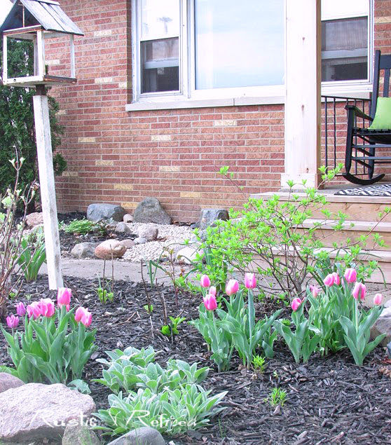 Touring a gorgeous zone 5 garden with tulips for spring color