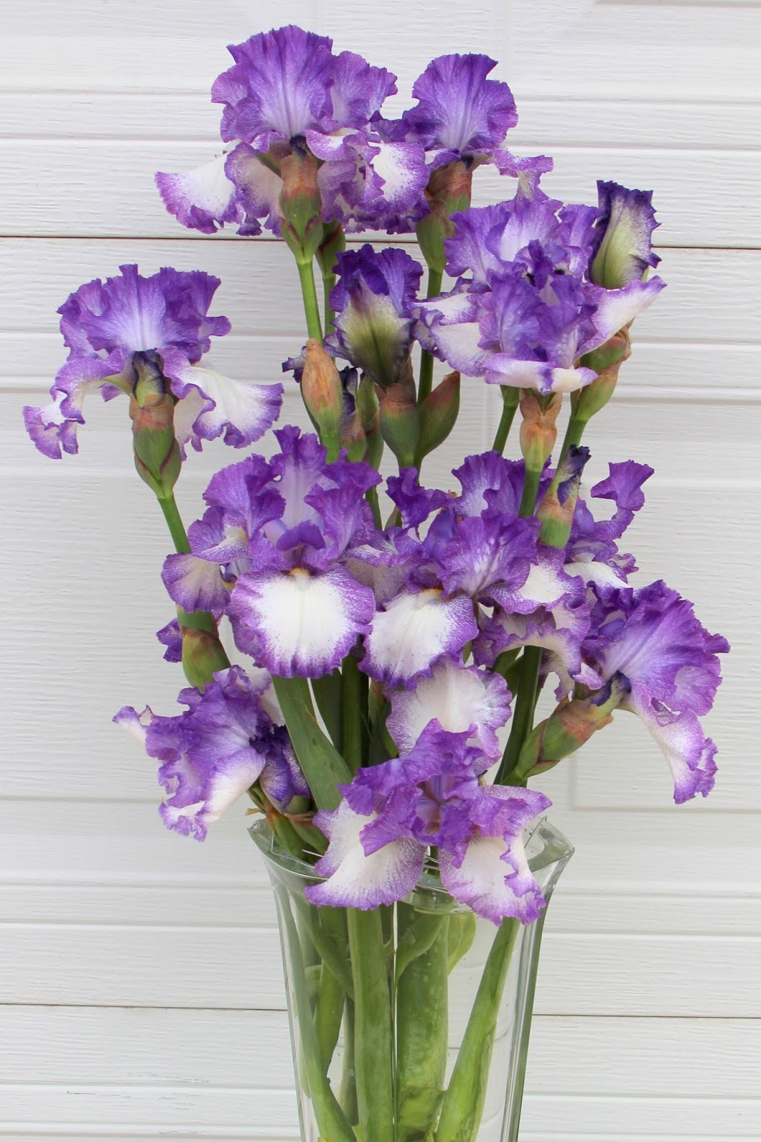 World of irises talking irises displaying irises using a variety dawn mumford proves that a lone iris stem can be spectacular to behold in her magnificent display of supreme sultan izmirmasajfo