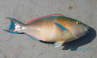 Tricolour Parrotfish