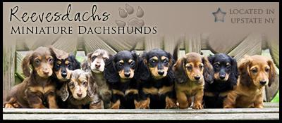 NY Miniature Dachshunds