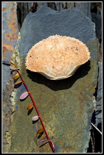 Nova Scotia; Gaff Point; Crab; Shell