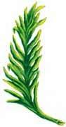 La palma del Escudo del Perú