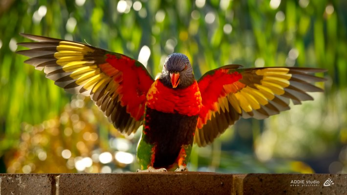 Wallpaper 3: Parrot